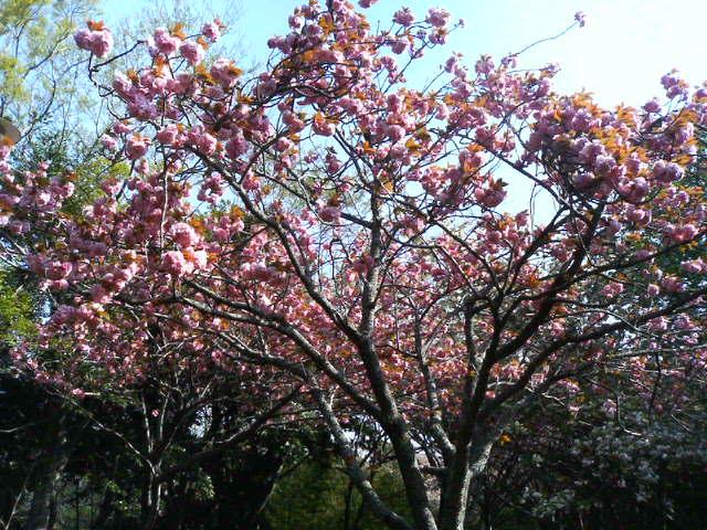 西之谷公園の桜